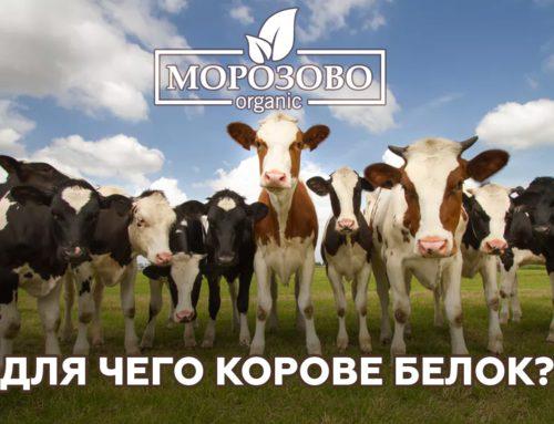 Для чего корове белок?