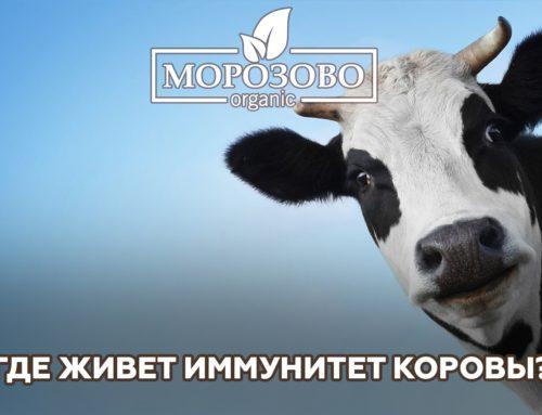 Где живет иммунитет коровы?